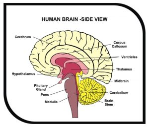 pituitary gland in the brain 300x256