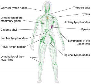 Lymph system diagram 300x277