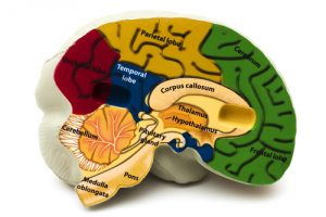 pituitary gland 300x200